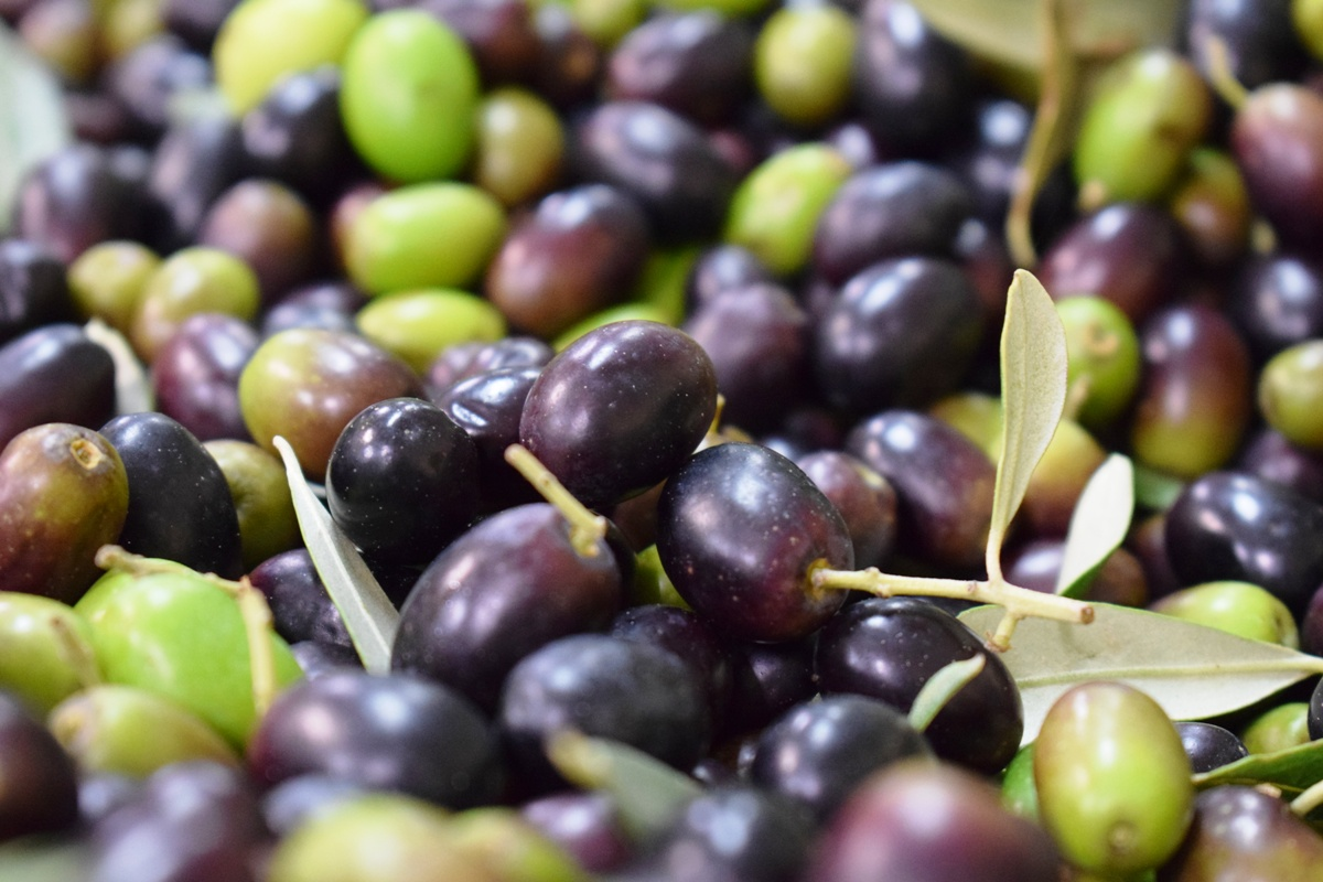 4.-ripened-olives-_2.jpg