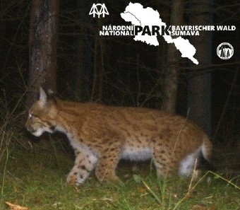 Young lynx who came from Sumava to Brdy