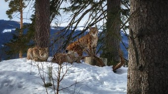 Lynx family on their afternoon rest by Vl Cech jr.